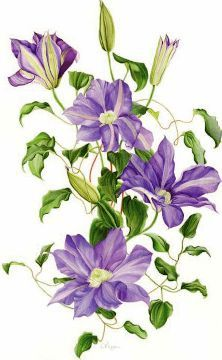 Clematis by Vicky Mappin Botanical Flowers, Botanical Prints, Art Floral, Watercolor Flowers, Watercolor Paintings, Watercolour, Watercolor Tattoo, Illustration Blume, Botanical Drawings