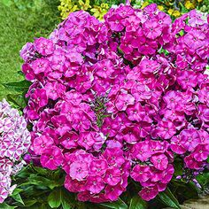Build a beautiful appeal in your flower bed with Spring Hill Nurseries Primadonna Bambini Garden Phlox, Live Bareroot Perennial Plant, Pink Flowers. Yellow Flowers, Colorful Flowers, Perennial Bulbs, Perennial Plant, Pink Perennials, Spring Hill Nursery, Pink Garden, Backyard Landscaping, Modern Landscaping