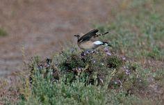 #guidofrilli - Nikon D300 + Tamron 150/600 - f5/6.3 - 1/2500 sec. f/6.3 ISO-400 600mm a 20m. - photo Guido Frilli - Sinis Desert Stagno di Mistras - culbianco (Oenanthe oenanthe (Linnaeus, 1758)) è un uccello passeriforme della famiglia dei Muscicapidi. - Sullo sfondo: salicornia europea (Salicornia europaea L., 1753) è una pianta succulenta della famiglia delle Chenopodiacee
