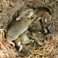 Nest Of Hares