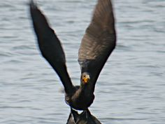 Double-crested Cormorant: 29 July 2014, Dyke Marsh Park. Alexandria, VA, party sunny, 65 degrees, breezy, 8:50 a.m., lifting off from log at mouth of marsh inlet