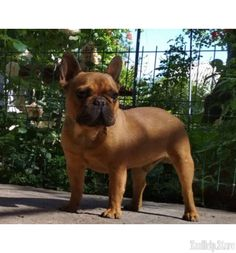 French Bulldog Puppies Maryland French Bulldog Puppies For Sale