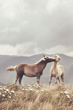 Playful wild horses in a field of wild flowers.