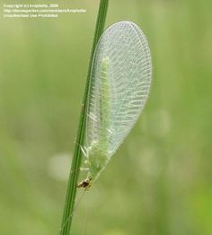 Green Lacewing ~ Beneficial insect