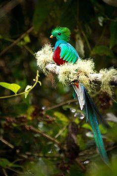 Breathtaking! Beautiful! Resplendent Quetzal / Quetzal