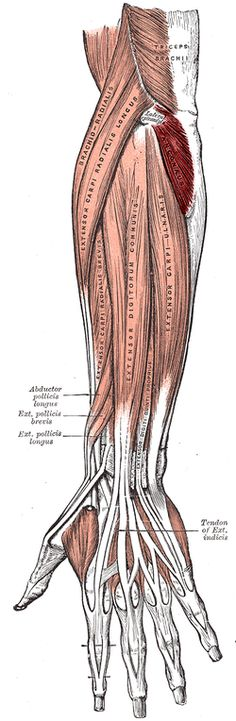 Musculus Anconeus Origin lateral epicondyle of the humerus proximally Insertion lateral surface of the olecranon process & the superior part of the posterior ulna distallyArtery deep brachial artery, recurrent interosseous arteryNerve radial nerve (C7, C8&T1)Actions It is partly blended in with the triceps, which it assists in extension of the forearm. It also stabilizes the elbow during pronation & supination & pulls slack out of the elbow joint capsule during extension to prevent…