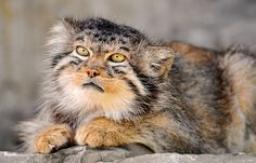 This beautiful specimen is a Manul, otherwise known as Pallas's Cat.  About twelve million years ago it was one of the first two modern cats to evolve and it hasn't changed since.
