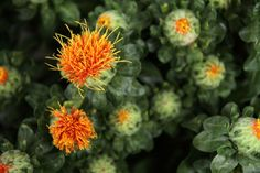 Get help with common coloured hair problems with safflower oil. #saffloweroil, #healthyhair, #oilsforhair