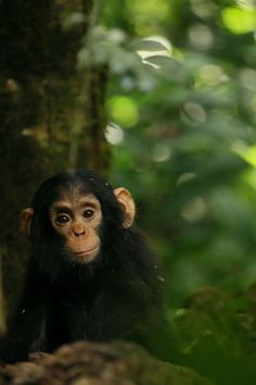 Adorable Chimp ~ looks like he's ready for philosophical conversation. Sweet face!