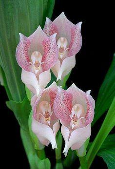 Praying Angel Orchids