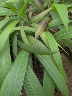 Setaria palmifolia is a superb grass, but sadly doesn't seem all that cold hardy. Broad flat leaves rustle in the breeze, and this is a great plant that will look good with most plants. Worth growing if you can protect it for winter; great container grass!