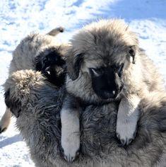 Šarplaninac / Illyrian Sheepdog / Cayucatan / Yugoslav Shepherd Dog / Sarplaninac / Шарпланинец / Шарпланинац / Dog of the Šar Mountains or Šar Mountain Dog Toxic Foods For Dogs, Caucasian Shepherd Dog, Types Of Dogs, Mountain Dogs, Dog Breeds, Dogs And Puppies, Happiness, Warm, Mountains