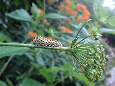 Black swallowtail caterpillar in the Butterfly Habitat Garden | by Flickr user AsiVivo