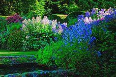 Campanula lactiflora at Veddw. Copyright Charles Hawes