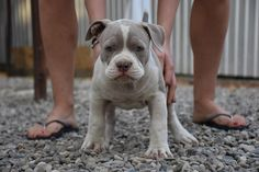 American Bully Puppies for sale from Kali and Mr.Suca - Amazing Pedigree - Excellent Temperament - Examined and Vaccinated by a Licensed Veterinarian American Bully Pocket, Pocket Bully, Puppies For Sale, Bullying, Pitbulls, Dogs, Animals, Dog, Animales