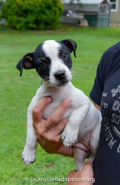 Lily, Jack Russell Puppy | Georgia Jack Russell Rescue, Adoption and Sanctuary