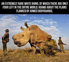 Rare White Rhino
