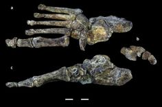 Foot fossils of human relative illustrate evolutionary 'messiness' of bipedal walking: Study of Homo naledi suggests that new species walked upright and also climbed trees Mira Hair Oil, Biological Anthropology, Brain Size, Archaeology News, Human Evolution, Science, World History, Photos Du, Fossils