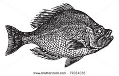Centrarchus Aeneus Or Rock Bass Fish Vintage Engraving. Old Engraved Illustration Of Centrarchus Aeneus. Trousset Encyclopedia. - 77084056 : Shutterstock