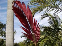 <b>Chambeyronia macrocarpa</b>, Red Feather Palm, Flamethrower Palm<br>Field Grown ■ New Leaf Detail, 8-12ft HT