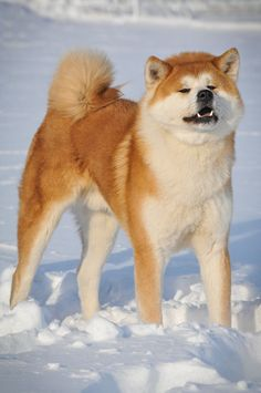 Akita - fiercely protective and loyal                                                                                                                                                                                 More
