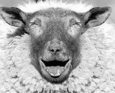 Sheep from Windsong Farm in Harvard, Massachusetts