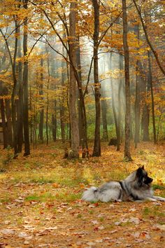 All sizes | Morning Keeshond | Flickr - Photo Sharing!
