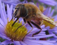 Bee On Flower.  Photo by Frederick Meekins