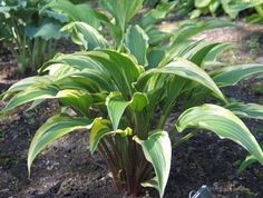 Hosta 'Proud Sentry'-16 inches, but stands more up right