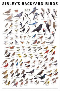 Sibley's bird poster - wood love to hang by the kitchen window to keep track of what I'm seeing!