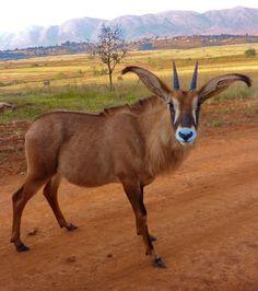 That's me, Tsandziwe! Mlilwane Wildlife Sanctuary, Swaziland.