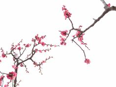 looking up ume blossoms #flowers