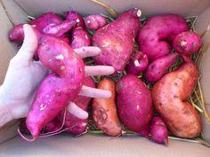 patates douces alsagarden (2)