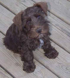 """Miniature Schnauzer, you can totally see where dashers """"looks"""" come from love my puppydog."""