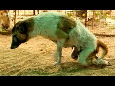 Paralysed dog rescued, watch her amazing recovery! Please share.