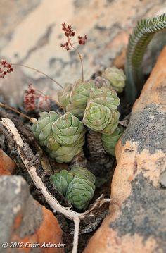 Crassula columella | Succulents