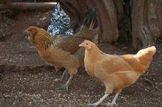 A reassuring but practical intro to keeping backyard chickens -- podcast with our store manager Sarah on Toxic Free Talk Radio