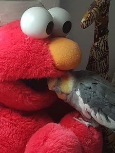 Yum, tastes like chicken. Funny Birds, Cute Birds, Pretty Birds, Cute Funny Animals, Beautiful Birds, Animals Beautiful, Cockatiel, Budgies, Animal Pictures