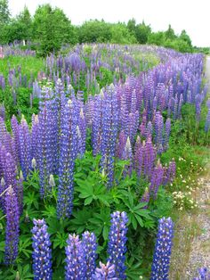 Finland - lovely Lupines. Singer songwriter J.Karjalainen includes them even in his song