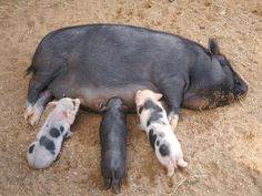 Dr. Murphy would say this pig has a low birthing rate..so its time to cull her