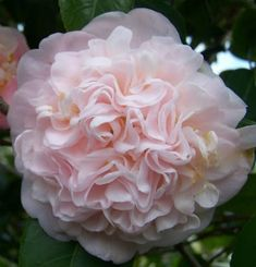 Flowers Camellia japonica 'Queen Maeve' (Australia, Organic Gardening - A Growing Trend In th