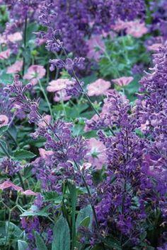 Nepeta 'Six Hills Giant' and hardy geranium 'Mavis Simpson'