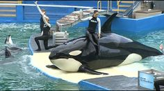 MIAMI -- A controversy is brewing at the Miami Seaquarium where management wants to hold onto its star performer amid criticism from animal rights activists who want to see the killer whale Lolita ...