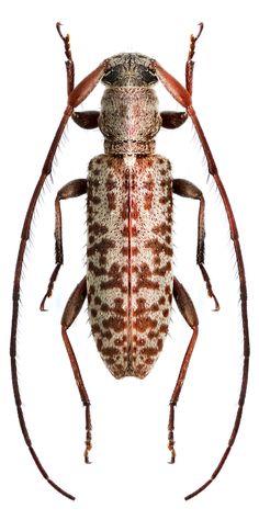 Rondibilis semielongatus
