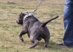 Bossy Kennels Big Pitbull, Bully Pitbull, Pitbull Terrier, Pitbulls For Sale, Joe Johnson, Puppy Kennel, John Wall, American Pitbull, 7 Month Olds