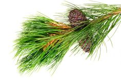 The Powerful Properties of Pine Trees (and other Extraordinary Evergreens)