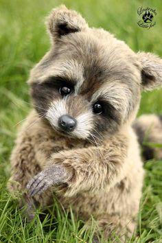 Raccoon                                                       …