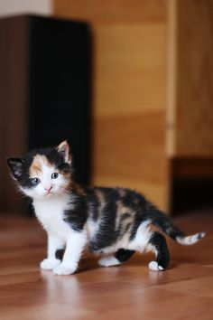Cute Baby Cats, Kittens And Puppies, Cute Cats And Kittens, Cute Baby Animals, Kittens Cutest, Pretty Cats, Beautiful Cats, Animals Beautiful, Gato Calico
