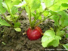 Knollensellerie ? Pflanzen, Anbau Und Pflege Im Garten   Essen Und ... Chinakohl Pflanzen Tipps Garten Pflege