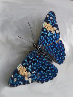 Borboleta azul Cracker